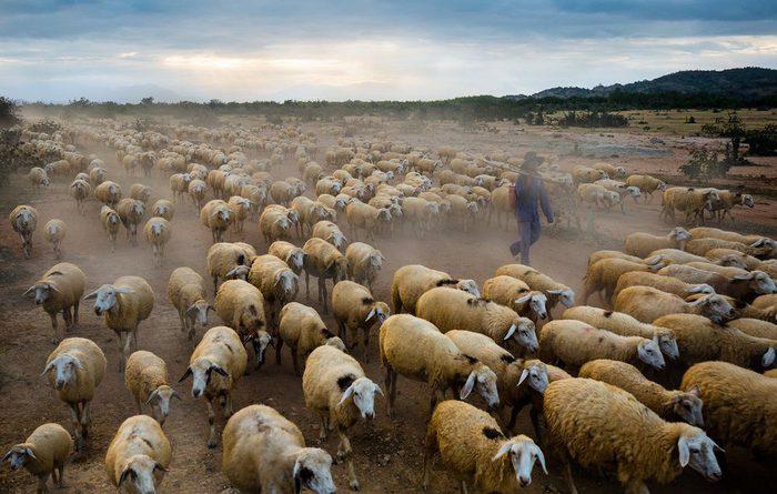 Bầy cừu tại Ninh Thuận lọt danh sách ảnh đẹp của tạp chí NatGeo